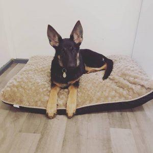 German Shepherd Puppy on a bed