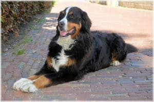 Bernese Mountain dog in the shade