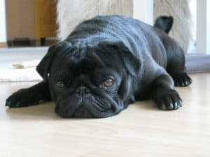 Black pug laying down