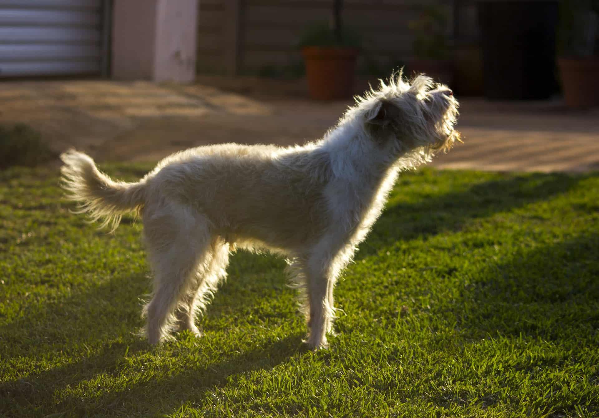 Barking dog in garden