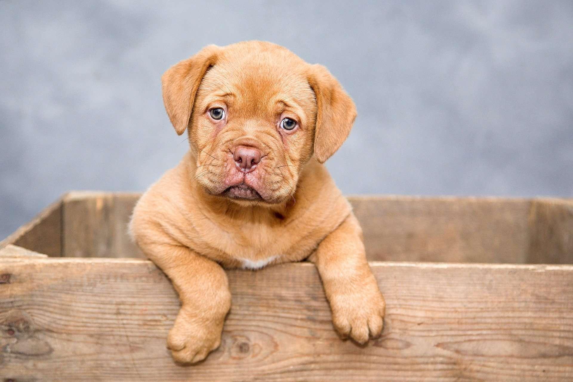 Dog de Bordeaux puppu