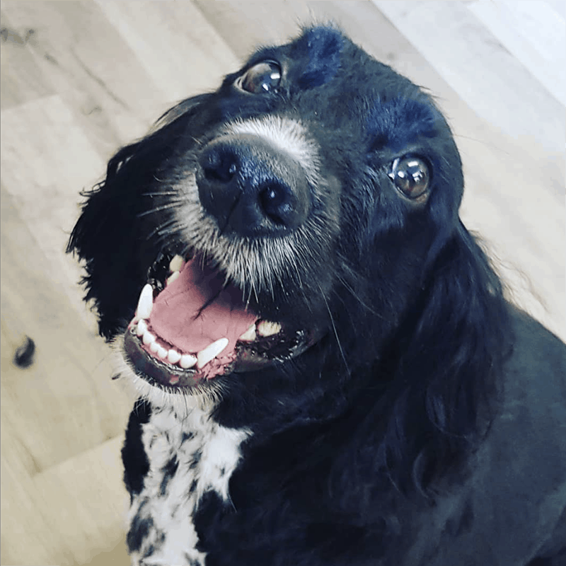 happy cocker spaniel luxury dog spa Leicester Syston Queniborough