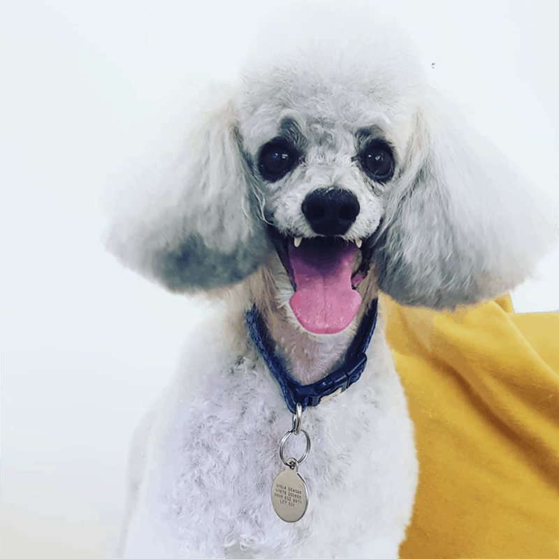happy poodle dog grooming Melton Mowbray Thurmaston