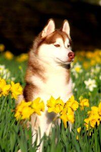 Husky in Daffodils