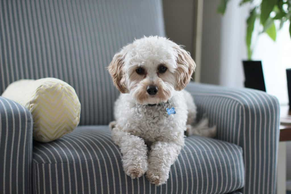 white shih tzu puppy on fabric sofa chair 981062